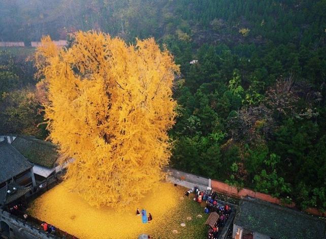 1400-летнее дерево Гинкго в Китае (буддистский храм Гу Гуаньинь) - TwitNow.ru
